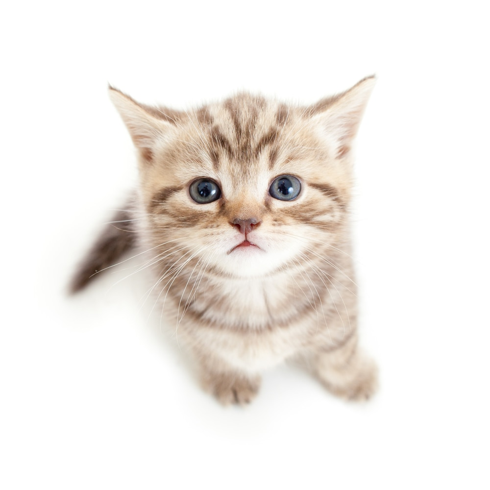 Transparent Background Cats Cat Transparent Background