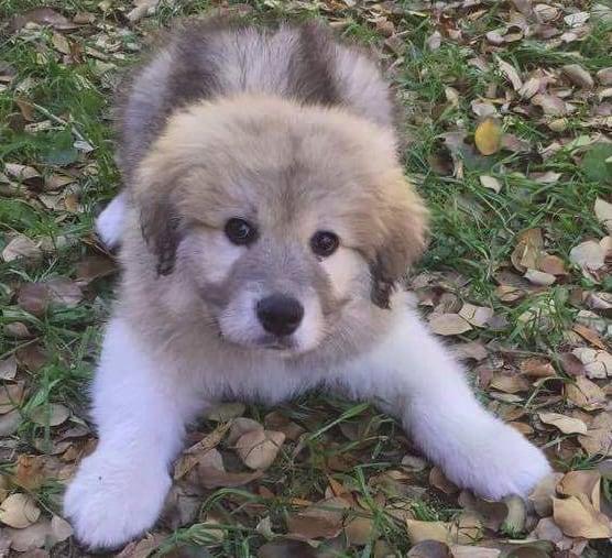 Phoenix Great Pyrenees dog adoption