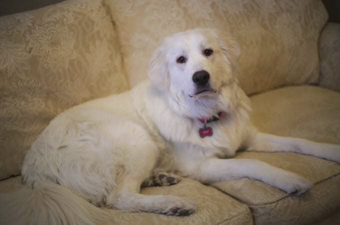 Phoenix dog adoptions - Meet Boo a Great Pyrenees