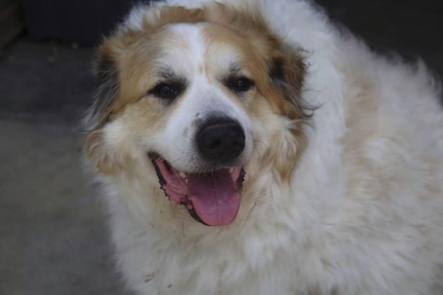 Great Pyrenees Phoenix: Mr. McChunk for Adoption