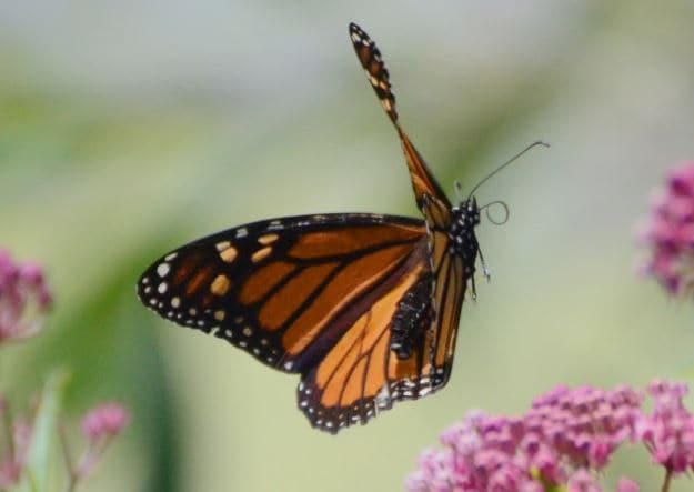 the annual butterfly festival is returning to springfield, missouri