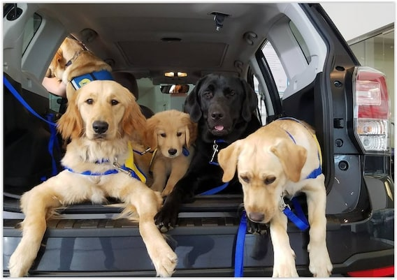 Canine Companions For Independence Byers Subaru Dublin
