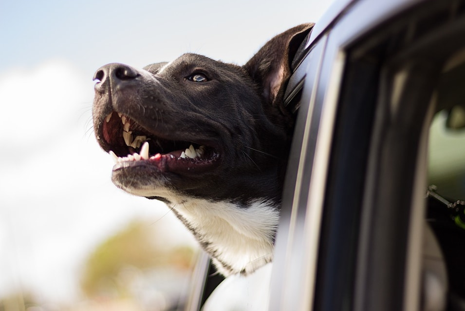 happy dog with head out car window
