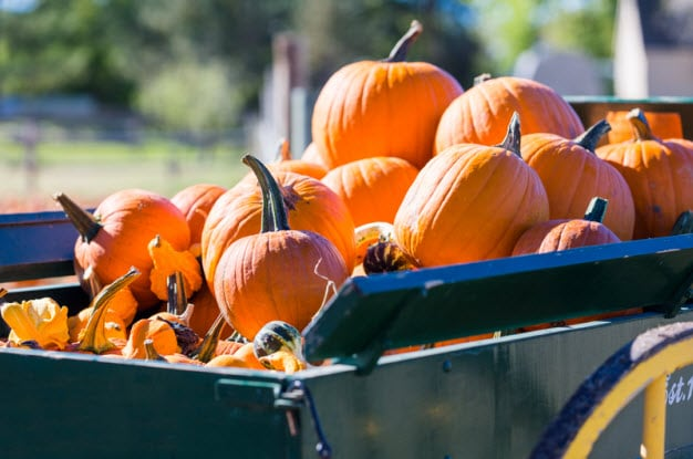 Corn Maze & Pumpkin Days at Tolmachoff Farms