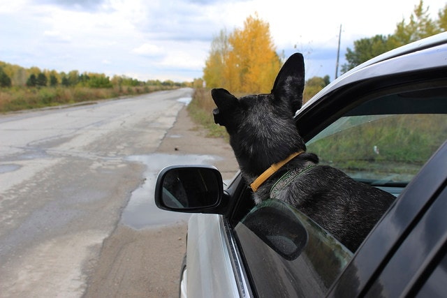 Dog Looking Out Car Window.jpg