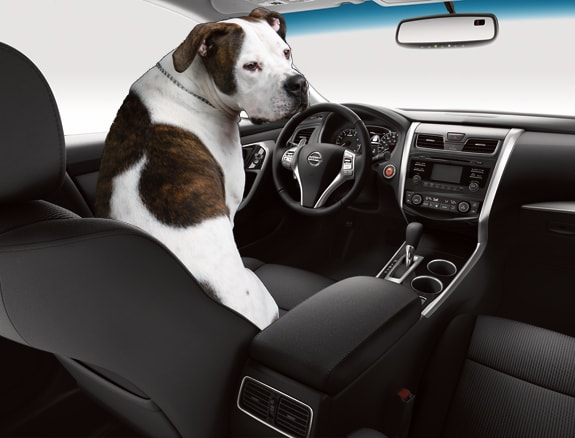 Dog Safe Driving Tips Mossy Nissan