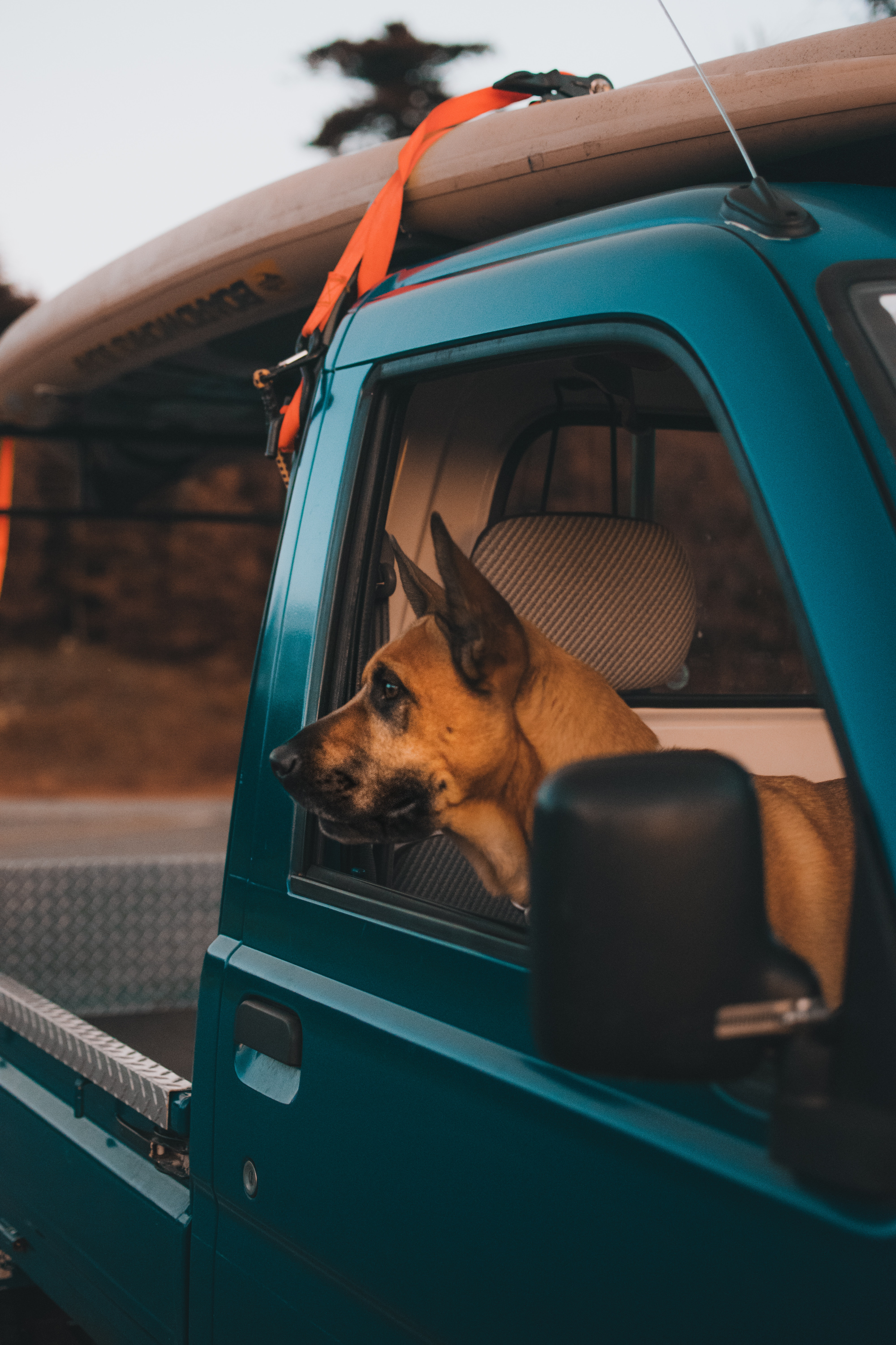 Dog sticking head out of truck cabin