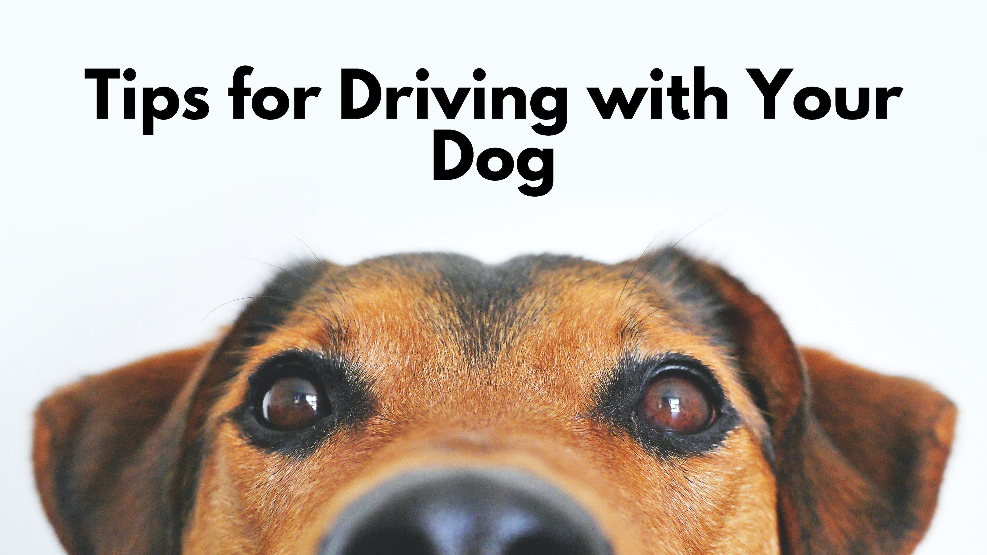 """Dog peeking from bottom of frame with """"Tips for Driving with Your Dog""""."""