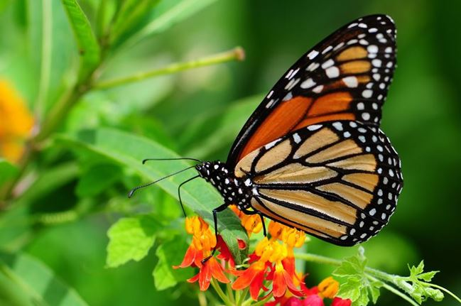 Butterfly Flutterby Is Returning to Grapevine